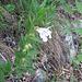 Melittis melissophyllum L.   <br />Lamiaceae<br /><br />Erba limona comune.<br />Mélitte à feuilles de mélisse.<br />Immenblatt.
