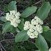 Viburnum lantana L.   <br />Adoxaceae (incl. Caprifoliaceae p.p.)<br /><br />Viburno lantana.<br />Viorne lantane.<br />Wolliger Schneeball.