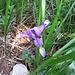 Iris graminea L.   <br />Iridaceae<br /><br />Giaggiolo susinario, Iris selvatico.<br />Iris graminée.<br />Grasblättrige Schwertlillie.<br />