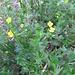 Potentilla erecta (L.) Raeusch.   <br />Rosaceae<br /><br />Cinquefoglie tormentilla.<br />Potentille dressée.<br />Blutwurz.
