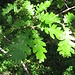Quercus robur L.   <br />Fagaceae<br /><br />Quercia comune, Farnia.<br />Chene pédunculé.<br />Stiel-Eichel.