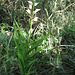 Cephalanthera damasonium (Mill.) Druce   <br />Orchidaceae<br /><br />Cefalantera bianca.<br />Céphalanthère blanche.<br />Weisses Waldvoegelein.<br />