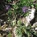 Phyteuma schechzeri All.    <br />Campanulaceae<br /><br />Raponzolo di Scheuchzer.<br />Raiponce de Scheuchzer.<br />Scheuchzers Rapunzel.