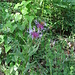 Centaurea montana L.   <br />Asteraceae<br /><br />Fiordaliso montano.<br />Centurée des montagnes.<br />Berg-Flockenblume.<br />