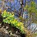 auch die Aurikel blühen schon