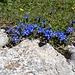 Immer wieder diese schönen Grüppchen des Frühlings-Enzian
