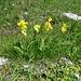 Frühlings-Schlüsselblumen