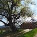 Ahorn mit Jura-Bauernhof