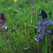 Gewöhnliche Kreuzblume (Polygala vulgaris) links / a sinistra und Bitteres Kreuzblümchen (Polygala amara) rechts / a destra