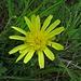 Kleines Habichtskraut (Hieracium pilosella)