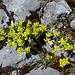 Hoppes Felsenblümchen (Draba hoppeana Rchb.)