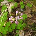 Wiesen-Schaumkraut (Cardamine pratensis)<br /><br />Besten Dank an Winterbaer.<br /><br />Ich war eben ein wenig erstaunt, da es mitten im Wald wuchs.