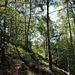 Weglein im Birkenwald vor Sassello
