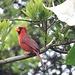 Unbekanntes hawaiianisches Flugobjekt - Ist wohl ein Rotkardinal