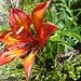 Die Orangerote Feuerlilie