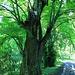 Wüstung Vitín, mächtige alte Bäume