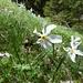 Die ersten Narzissen: hier die Weisse Berg-Narzisse, Narcissus radiiflorus