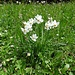 Ein ganzer Büschel von Narzissen: Weisse Garten-Narzisse, Narcissus poeticus