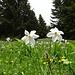 Weisse Garten-Narzissen in einem Feld mit tausenden Artgenossen