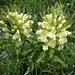 Blattreiches Läusekraut, Pedicularis foliosa mischen sich bei Flügeri unter die Narzissen