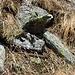 So warm war es schon, dass eine zischende Kreuzotter dahinschlängelte - und ganz fix wieder verschwand - gerade noch erwischt ...