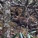 Himalayan Musk Deer (Moschus leucogaster) at ca. 3800m