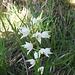 Langblättriges Waldvögelein (Cephalanthera longifolia)