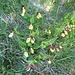 Frauenschuh (Cypripedium calceolus)