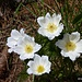 Anemone sylvestris.