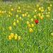 <i>Tulipa grengiolensis</i>, hier vorwiegend in der gelben  <i>forma omnino lutea</i> und ein einziger in <i>forma omnino rubra</i>.