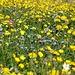Bei genauem Hinschauen blühen aber nicht nur gelbe Blumen.