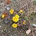 Tussilago farfara L.    Asteraceae  Tossilagine comune, Farfaro. Tussilage. Huflattich.