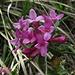 Gestreifter Seidelbast (Daphne striata)