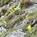 Aurikel säumen den Wanderweg zur Schafbodenalp