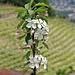 Vereinzelt blühen noch junge Apfelbäume