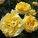 Zum Abschied schöne Rosen