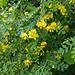 Blasenstrauch (Colutea arborescens)