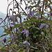 Am Wegrand die Alpenrebe (Clematis alpina)
