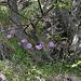 Ungewöhnlicher Standort der Alpenaster (Aster alpinus)