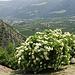 Im Abstieg sehen wir unzählige Holunderbüsche (Sambucus nigra). Holundersirup ist im Vinschgau ein sehr beliebtes Getränk.