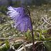 Soldanella alpina oder auch Alpenglöckchen