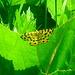 Gelber Fleckenspanner (Pseudopanthera macularia)