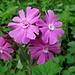 """so """"einfache"""" Blumen - doch so schön; gemäss Wikipedia auch: Rote Nachtnelke, Rote Waldnelke, Taglichtnelke, Rotes Leimkraut oder Herrgottsblut"""