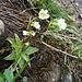 """im Abstieg: zarte - """"fleischfressende"""" - Blumen"""
