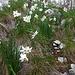 Daffodil day on Dajti