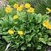 Grossblütige Gämswurz (Doronicum grandiflorum); die Pflanzen wachsen rund um die Gspaltenhornhütte.  Anmerkung: Danke kikai für den richtigen Hinweis. Habe den Pflanzennamen nun richtig angepasst. ;-)