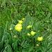 Trollblumen mit Wassertropfen