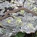 A common viper (Kreuzotter)