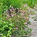 Die verbrannte Erde behagt offenbar ganz besonders dem Hauhechel (Ononis rotundifolia)