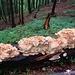 Ein gigantischer Baumpilz auf einem Kirschbaumstamm (der kleine Bär ist nur 9 cm groß!)
